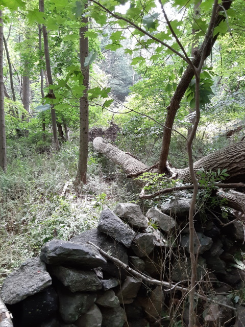 ash tree down on rock wall