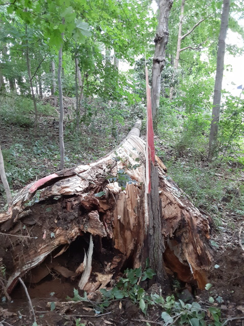 cottonwood down